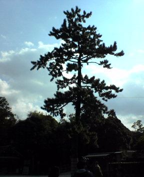 Trees of Ise Shrine